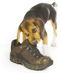 Doggie eating a shoe